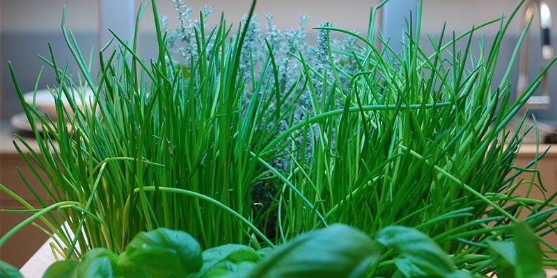 Mit Schnittlauch und Basilikum bepflanztes greenUnit Zimmergewächshaus für urban gardener